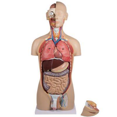 Анатомични макети